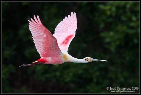 flying pink birds pinterest