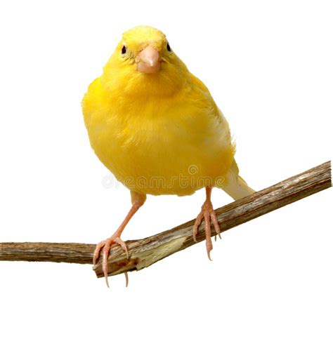rhinelander canaries stock photo royalty canary stock image image of animal yellow isolated