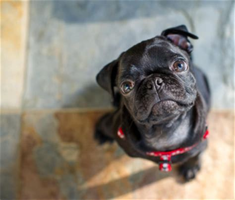 black pug rescue want to adopt a purebred start with a breed rescue