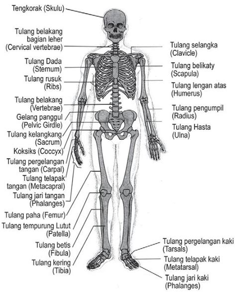 gambar dan fungsi rangka manusia terlengkap