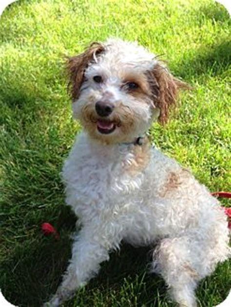 Ri Chance Adopted W Warwick Ri Goldendoodle