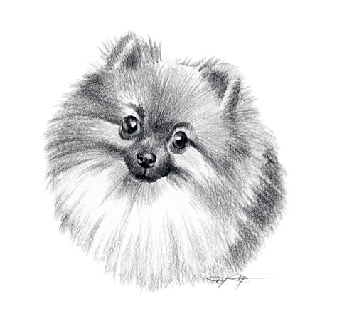 how to draw a pomeranian puppy pomeranian pencil drawing print signed by artist dj