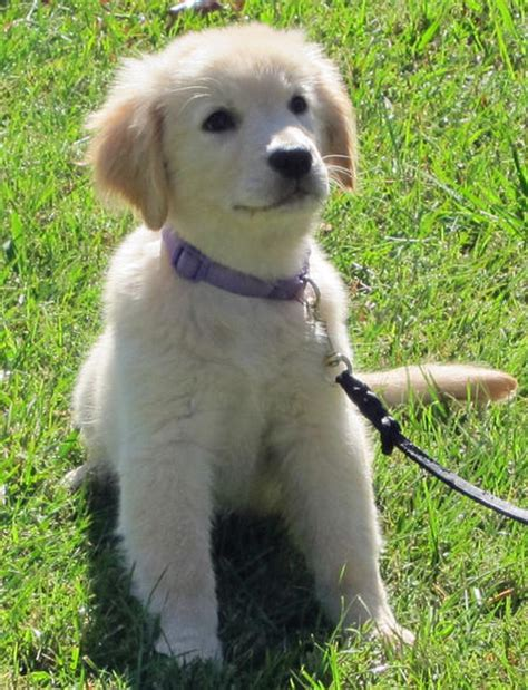 daily puppy the golden retriever puppies daily puppy