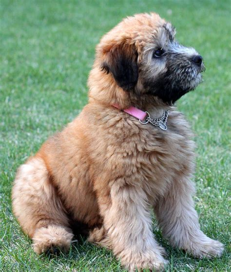 wheaten terrier puppy soft coated wheaten terrier 187 info pictures more