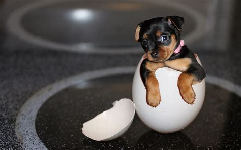 puppy eggs wallpaper comes out of the egg hd animals wallpapers