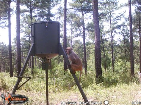 Live Deer Feeder monkey on trail and nobody knows where it came from outdoorhub
