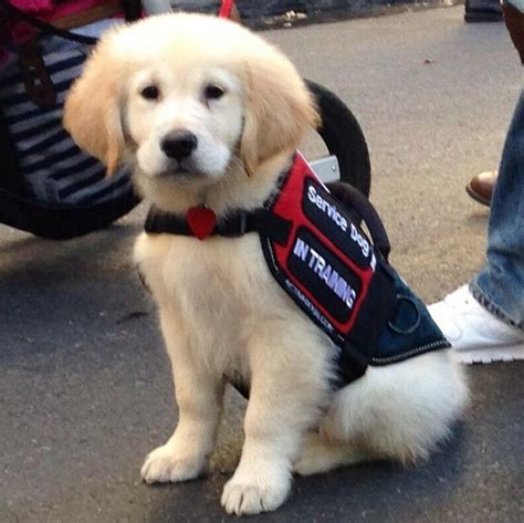 golden retriever service dogs service in animals