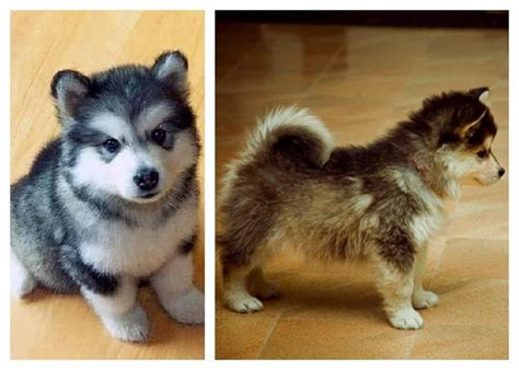 husky mixed with pomeranian cost this so pomsky puppy random or maybe both so