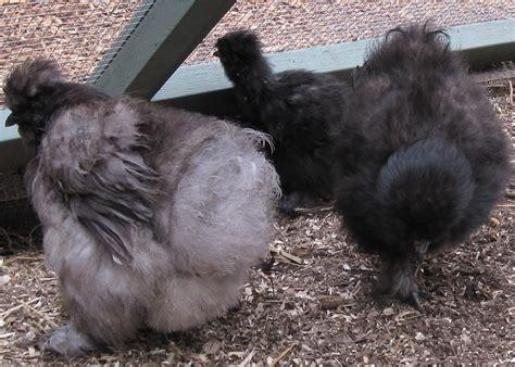 Backyard Chickens Coccidiosis Coccidiosis In Backyard Chickens Symptoms Treatment And