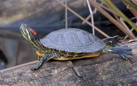 red eared slider turtle info turtle