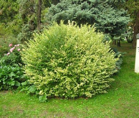 cespugli sempreverdi con fiori piante per aiuole piante da giardino scegliere le