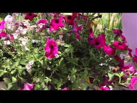 how to revive petunias grow guru youtube gardening pinterest petunias watches and youtube