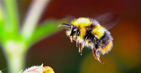 ultimate guide  british bees   protect