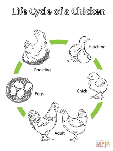 Chicken Life Cycle Coloring Page | life cycle of a chicken coloring page free printable