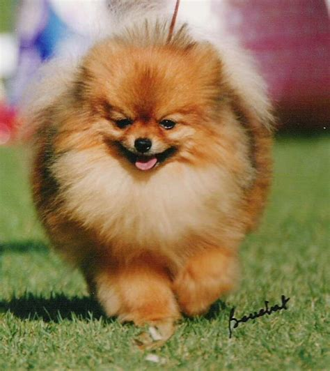 top pomeranian xantah pomeranians established breeder with top quality