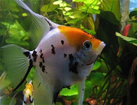 Saklar Headl Tiger bubbles aquarium fish