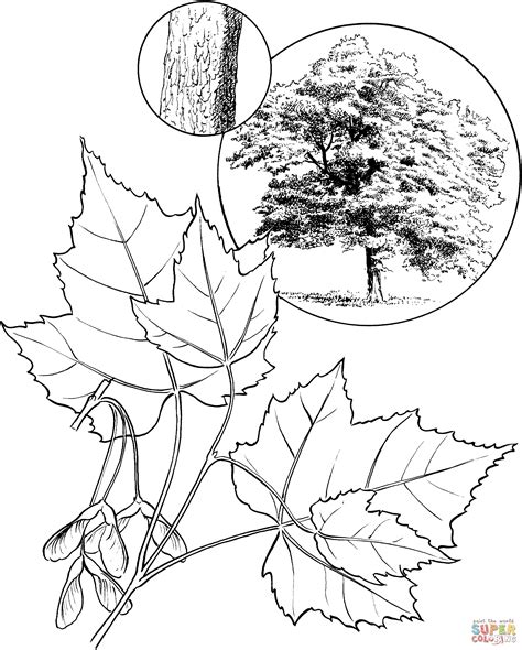 coloring page maple tree red maple tree coloring page free printable coloring pages