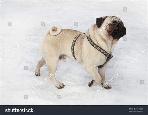 when do pug puppies start walking pug walking on snow pug stock photo 95599852