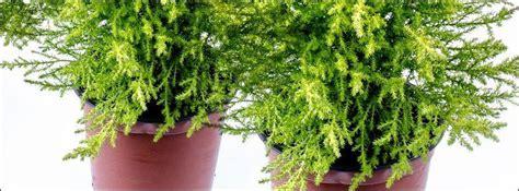 Sapin En Pot Terrasse by Conif 232 Re En Pot
