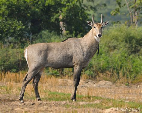 Cool Homes Com by Nilgai Blue Bull Eastern Up India By Bn Singh
