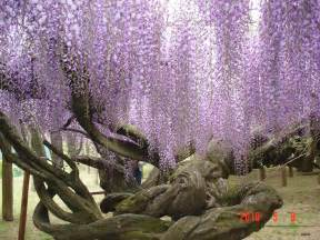 Wisteria Flower Tunnel In Japan Wisteria Tree Tunnel Viewing Gallery