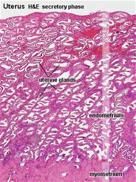 menstrual cycle histology embryology