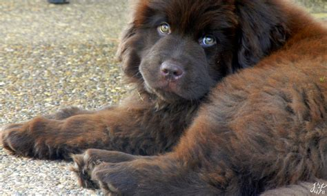 newfoundland puppy 10 gentle giants big dogs with big hearts page 3 of 4 urdogs
