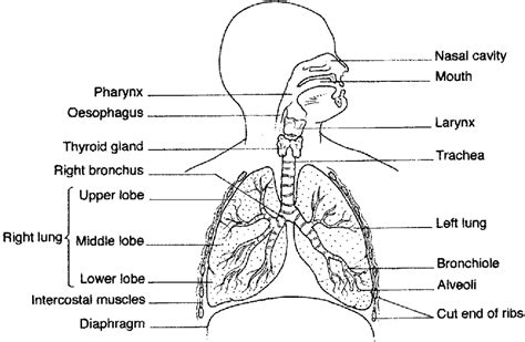 the human lungs diagram gaseous exchange biology notes for o level with questions