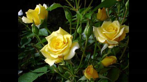 imagens de flores e rosas ele 233 jeov 225 com danny barrios s 243 com imagens de lindas