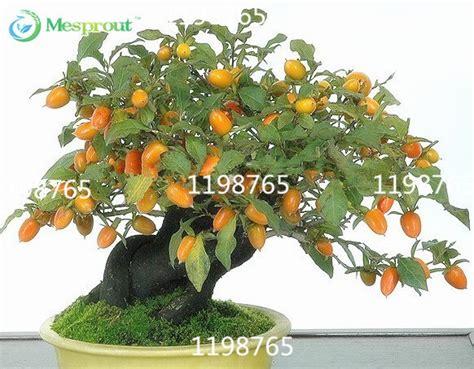 50 fruit tree 50 persimmon seeds diospyros kaki bonsai