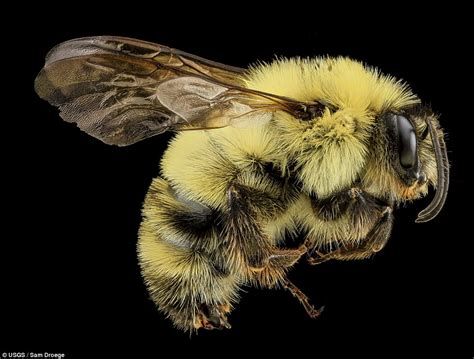 Yellow Bee stunning pictures of bees show the insects as you ve never seen them before with fluffy hair