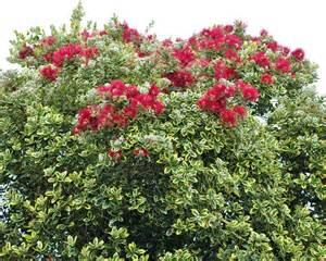 gardensonline metrosideros excelsa variegata