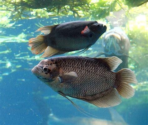 Harga Benih Ikan Gurame 2016 cara mudah budidaya ikan gurame untuk pemula satu jam