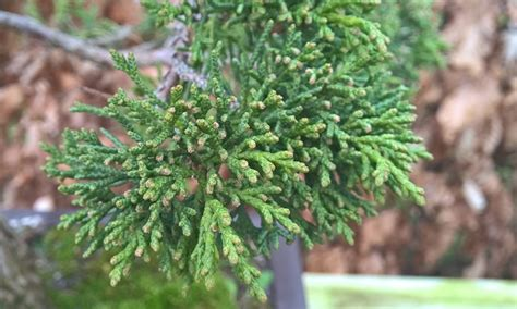 what color is juniper juniper foliage color