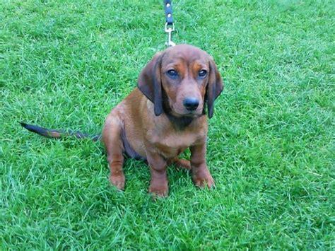 Alpine Dachsbracke puppy on the grass photo and wallpaper ...