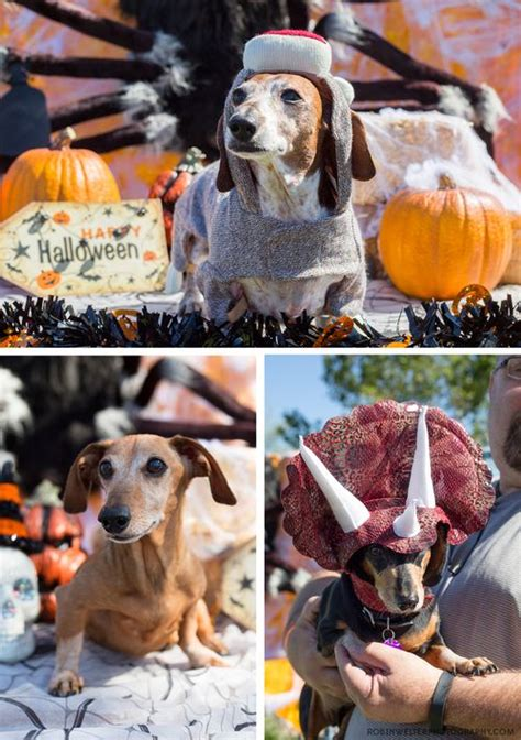 puppy rescue las vegas 17 best images about howl o ween on pumpkins pumpkin costume