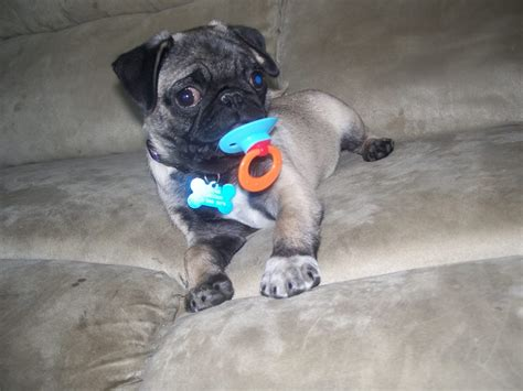 pugs in maryland pugpugpug who are some breeders of pugs in maryland