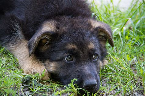 where can i buy a german shepherd puppy 7 facts about the german shepherd animalso