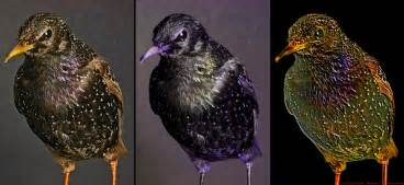 uv light for birds photography of the invisible european starling