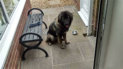 caucasian shepherd for sale caucasian shepherd for sale stockton on tees county durham pets4homes