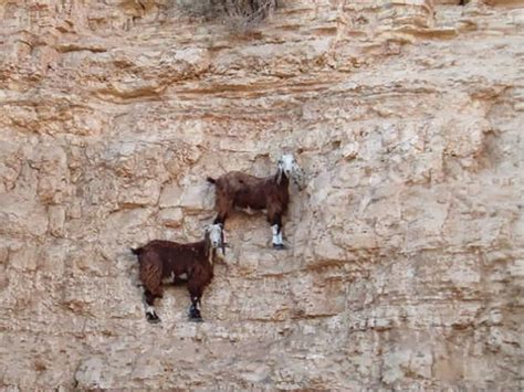 Goat Wall mountain goat photos on vertical walls wilderness