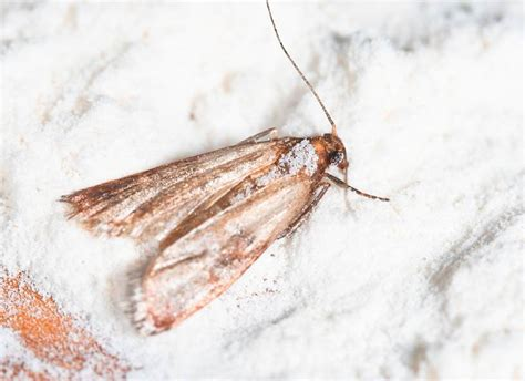 Got Pantry Moths Get Rid Of The Infestation Naturally Tiny Moths All House