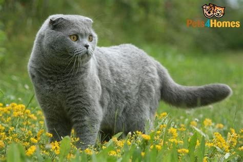 cat facts the pet parent s a to z home care encyclopedia books scottish fold cat breed information buying advice photos