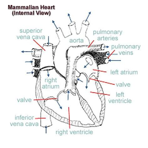 heart cross section diagram 86 best a p chapter 11 cardiovascular system images