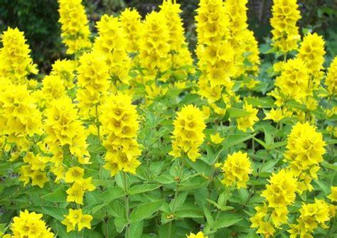 gelbe gartenblumen bestimmen beste garten ideen
