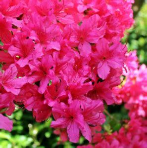 azalea magenta rhododendron magenta life   garden