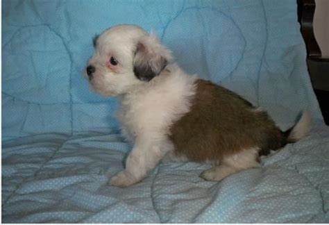 free puppies washington state and lhasa apso puppies for sale for sale adoption from seattle