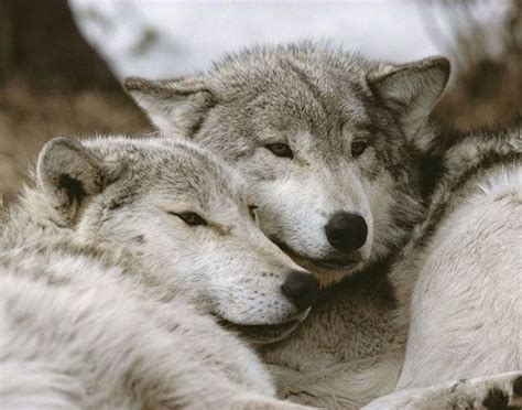 Wolf Run Wolf Of My Volume 2 121 best wolves and why i them images on