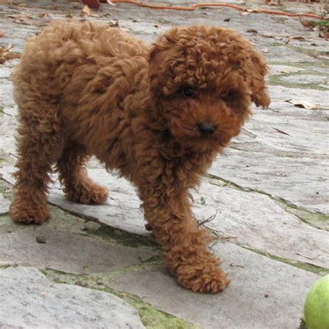 mini poodle grown poodle animals