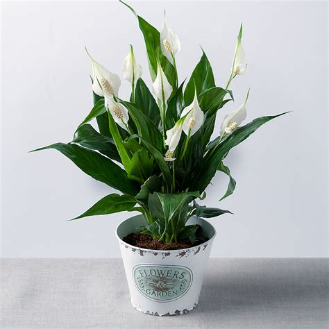 lilies or lillies peace lily in zinc pot buy peace lily plants bunches co uk
